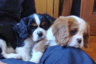 Cuccioli di cavalier king maschio e femmina bicolor