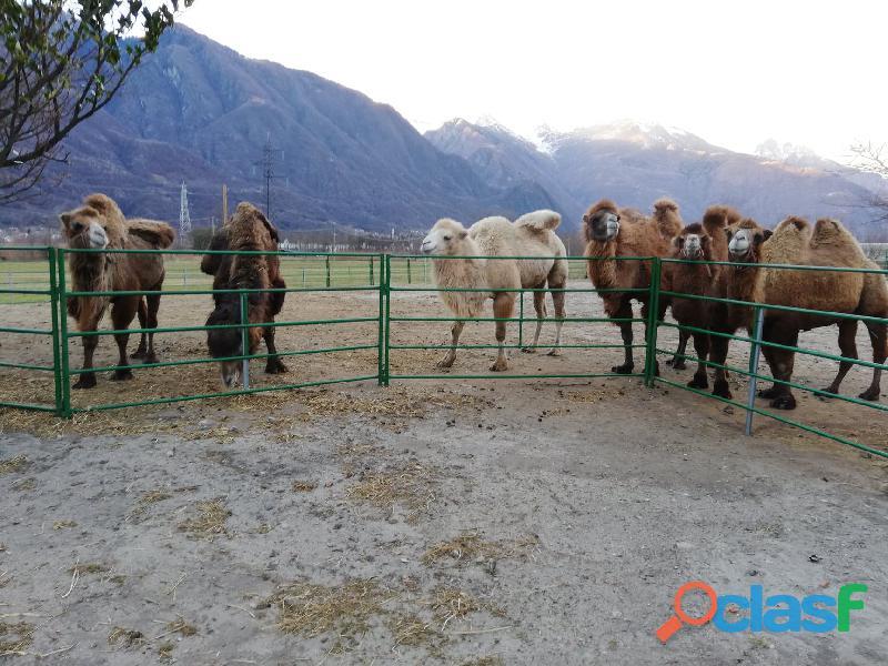 Disponibili cammelli maschi e femmine di vari colori