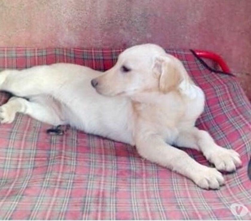 Incrocio Labrador 3 mesi e mezzo vaccinato