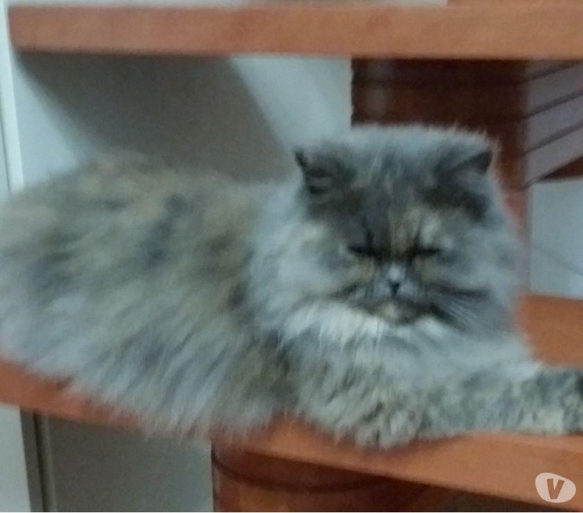 Smarrita gatta persiana