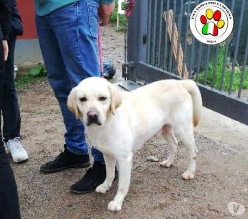 Duke, bellissimo Labrador di soli 15 mesi