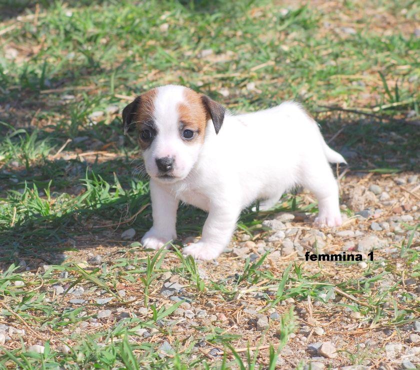 Cuccioli di Jack Russell Terrier Alta Genealogia