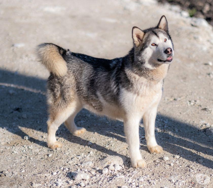 cuccioli di Alaskan Malamute nati il