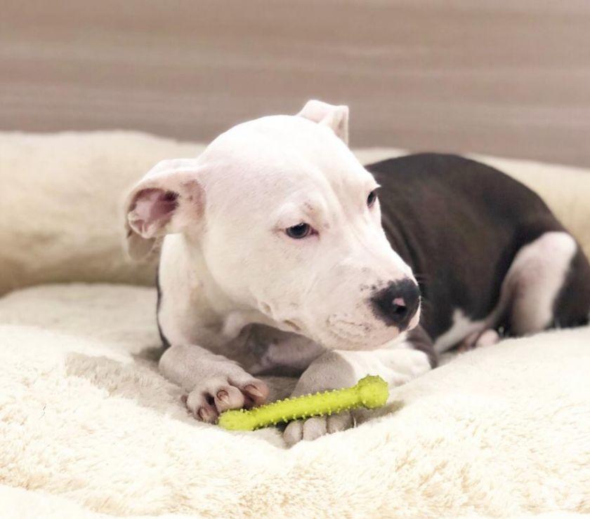 american staffordshire terrier cucciolo