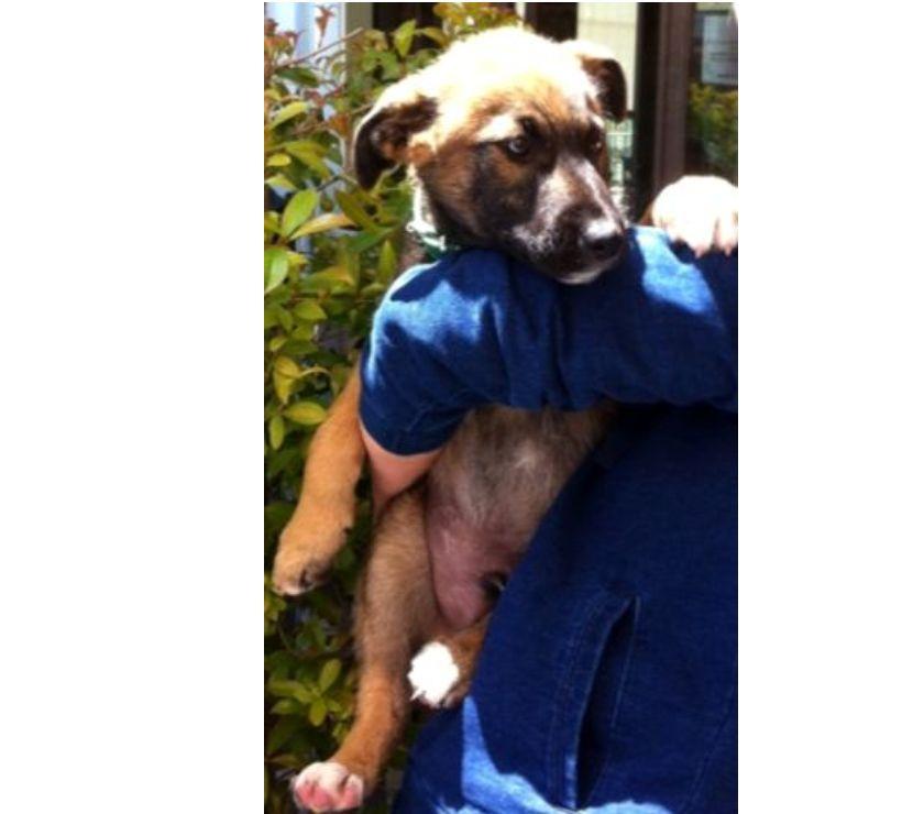 Regalo cucciolo incrocio pastore con vaccino