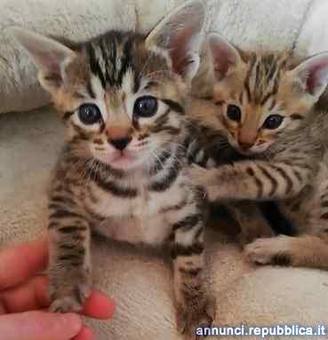 DUE gattine razza bengala di 3 mesi Gatto Bengala Affi