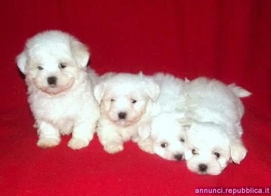 Maltese, cuccioli maschi di taglia piccola Cane Maltese