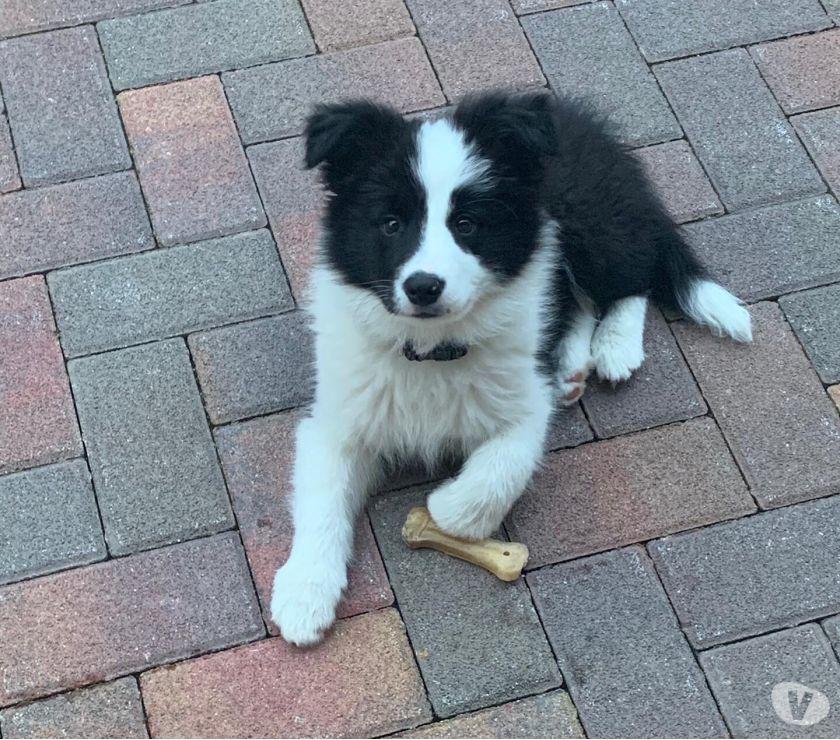 Vendo cucciolo Border Collie con Pedegree