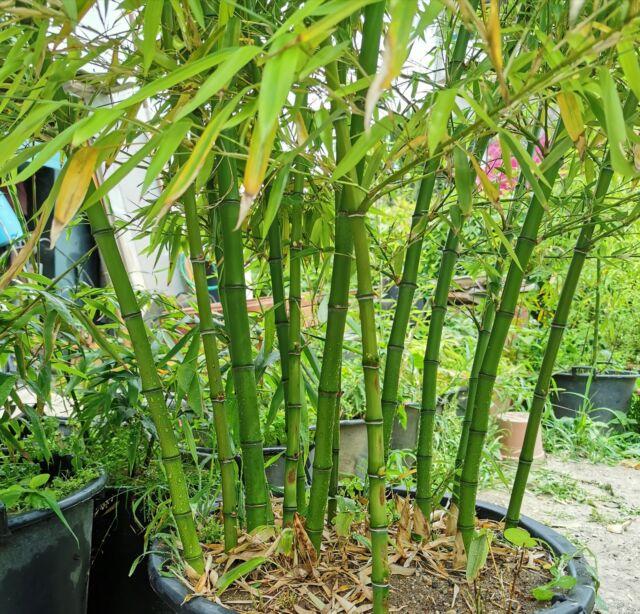 Pianta bambù gigante di 3 anni phyllostachys vivax