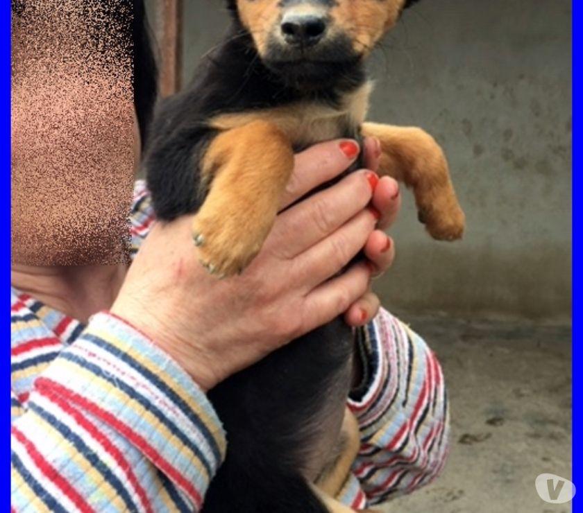 ALBICOCCA cucciolina 3 mesi simil pinscherina abbandonata in