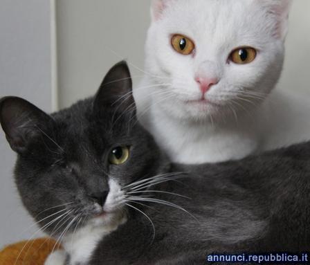 Due gatte adulte di 2 e 3 anni da adottare Gatto Padova