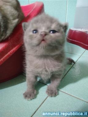 British e Scottish Fold gattini Gatto British Shorthair