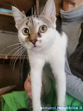 Gemma gatta adulta da adottare Gatto Padova
