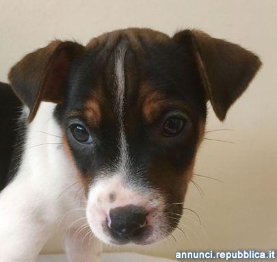 Jack russel zampa corta cucciolo Cane Jack Russel Terrier