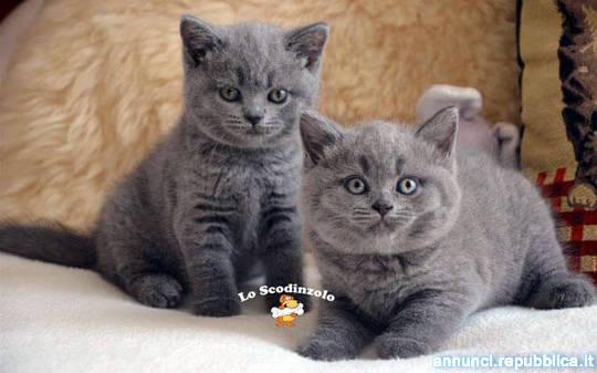 british shorthair cuccioli manto blu