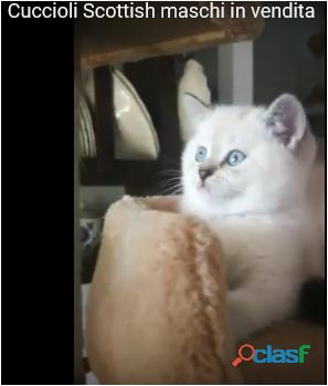 Cucciolo gatto a pelo lungo e occhi azzurri in regalo