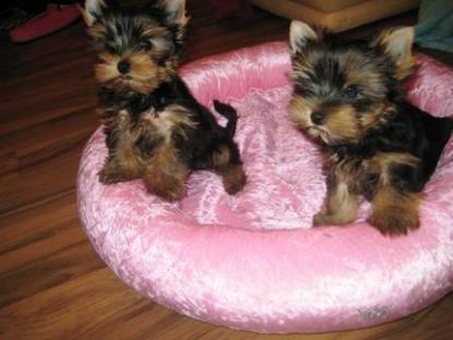 REGALO disponibile splendidi cuccioli di yorkshire terrier