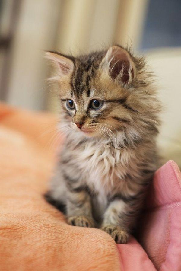 REGALO gattini Maine Coon ora abbiamo i seguenti gatti Maine