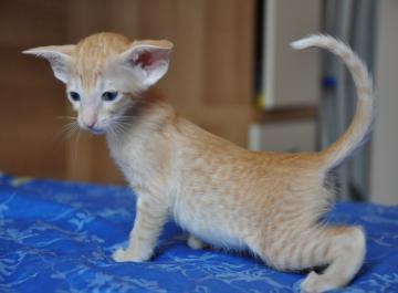 Regalo Gattini di razza Siamese Gattini di razza Siamese e