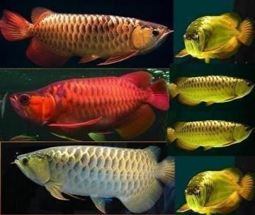 Dolce acquario tropicale per pesci Arowana qualità dolce