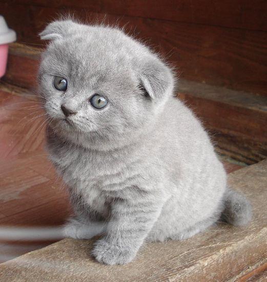 (GRATIS) Gattini scottish fold femmina e maschio