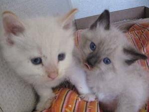 Siamese Tradizionale gattini