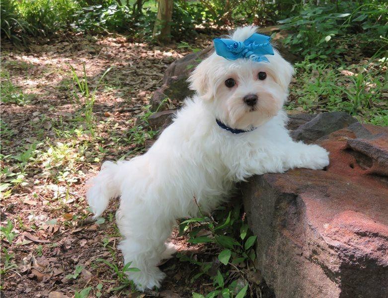 Regalo Cuccioli di Mini Malteser in pronta consegna