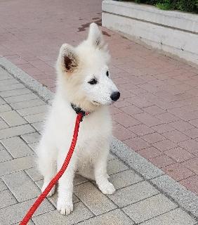 Samoyed cucciolo cane 3 mesi pedigree maschio