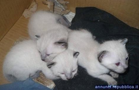 Siamese Tradiizonale gattini Gatto Siamese