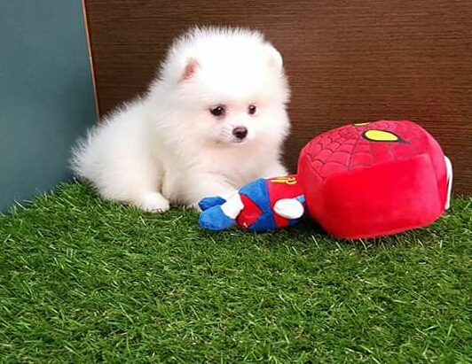 Regalo Cuccioli Di pomerania Mini Toy