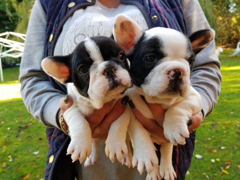 Regalo Cuccioli di Cane a Bulldog Francese