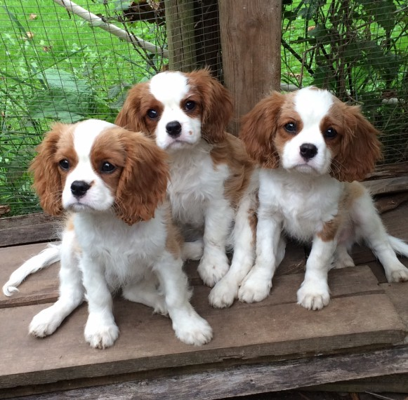 regalo cavalier king cuccioli meravigliosi !