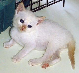 Gattino Siamese Tradizionale