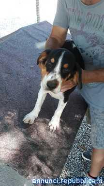 Beagle cucciolone di 5 mesi Cane Beagle Harrier