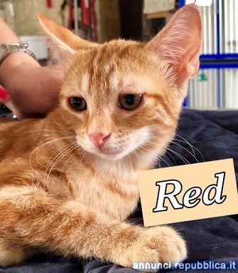 TRE MICI: RED+TOBY+MIX Gatto Europeo Busto Arsizio