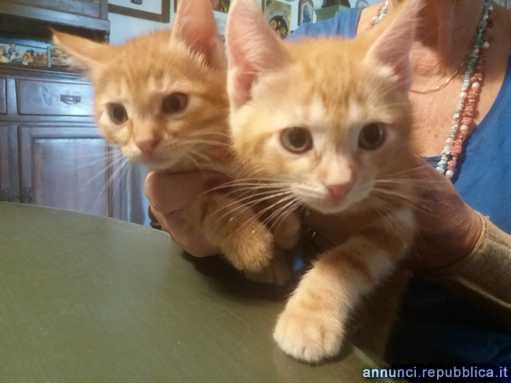 gattini rossi 3 mesi Gatto Padova