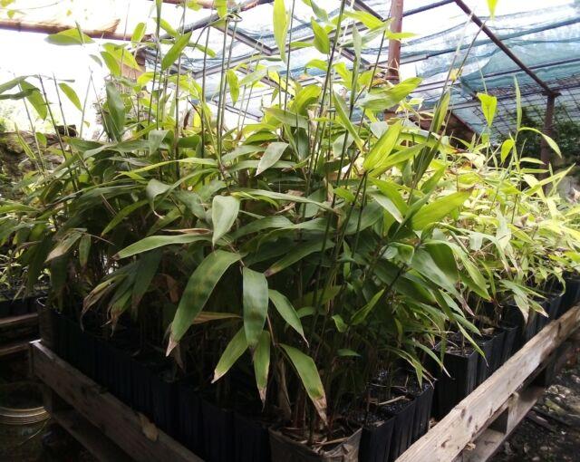 Pianta Bambù Gigante Moso piantina Phyllostachys Edulis