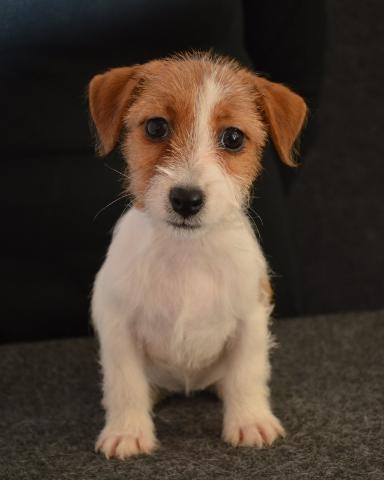JACK RUSSELL TERRIER ALTA SELEZIONE
