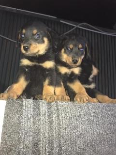 Ultimi 2 cuccioli di Rottweiler femmina