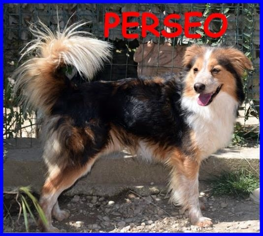 PERSEO BELLISSIMO VOLPINETTO 3 ANNI 12 KG