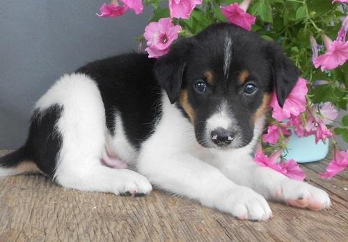 Regalo abbiamo cuccioli di border collie