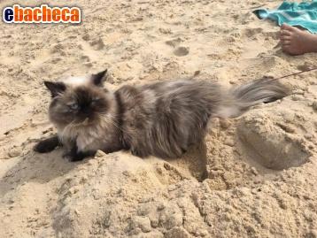 Regalo gatta persiana