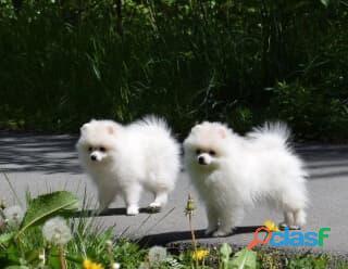 Regalo cucciolo Q2 cuccioli di spitz pomerania toy vivaci