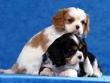 Adorabili cavalier king cuccioli mini disponibili per