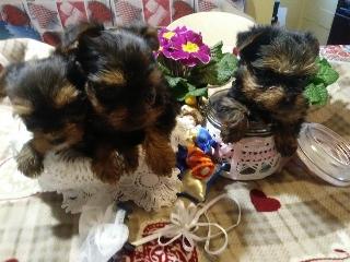 Yorkshire toy e mini toy