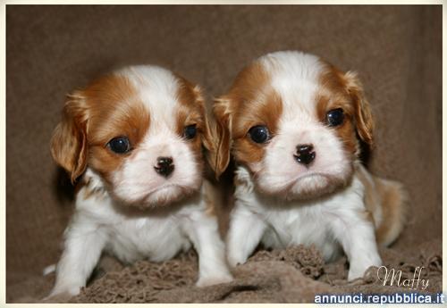 Disponibili cuccioli di Cavalier king charles Cane Cavalier