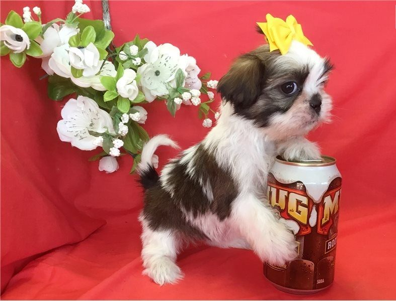Regalo Cuccioli di Shih Tzu in pronta consegna i cuccioli