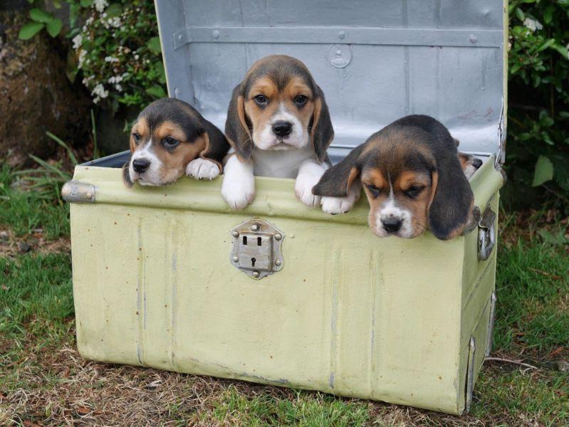Regalo Cucciolo di Beagle in pronta consegna i cuccioli