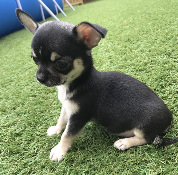 Regalo Cucciolo di chihuahua in pronta consegna i cuccioli