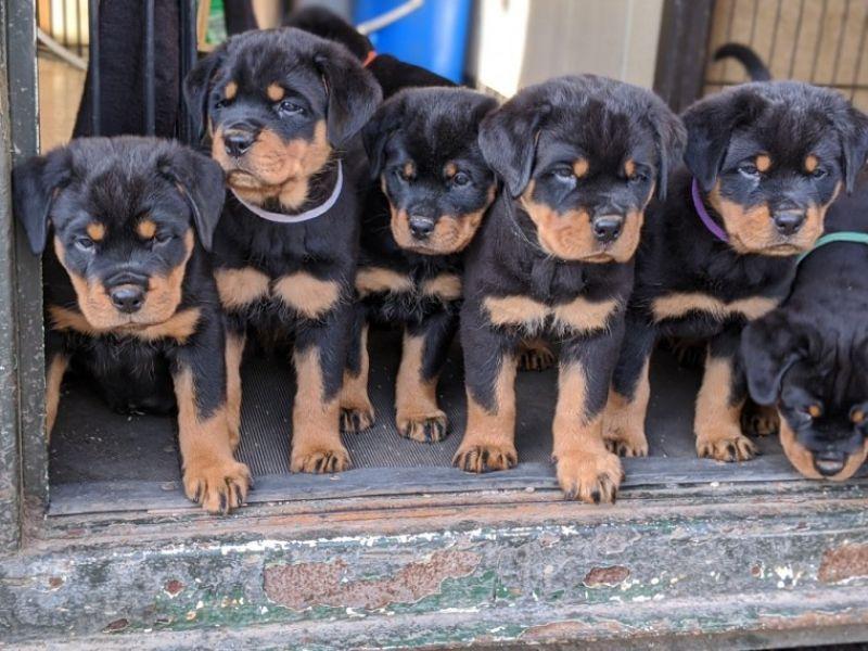 Regalo Cuccioli di Rottweiler in pronta consegna i cuccioli